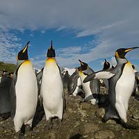 A King Penguins departs a huge rookery at Salisbury Plain, South Georgia, Antarctica.