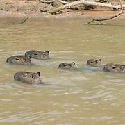 Capybara (Hydrochaeris hydrochaeris) Largest rodent in the world. Family group swimming. Pantanal. Brazil.