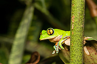 Blue-sided treefrog, Agalychnis annae, also known as the Golden-eyed Treefrog, Coffee Frog, or Monkey Frog, an endangered species. A small population has been established in the gardens of the Hotel Bougainvillea, Santo Domingo de Heredia, Costa Rica