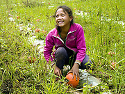 A young Khmu ethnic minority girl works on her family farm picking pumpkins in Ban Nam Khor, Oudomxay province, Lao PDR. The scarcity of agricultural land in Southern Yunnan province is promoting Chinese farmers and small scale entrepreneurs to cross the international border between China and Lao PDR in order to invest in cash crops. The villagers are supplied with seeds, plastic and fertilisers to grow various crops which are then exported back to China on a vast scale.