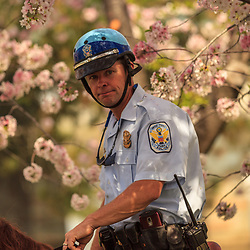 Washington, DC - April 11, 2013:  Mounted US Park Police officer patrols near the Jefferson Memorial during the cherry blossom season.