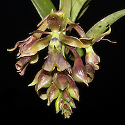 Epidedrum larae, an orchid near the Interoceanic highway in Peru