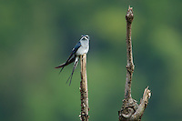 Moustached Tree-swift (Hemiprocne mystacea) on a perch in a rain forest clearing.  Halmahera Island, Indonesia.