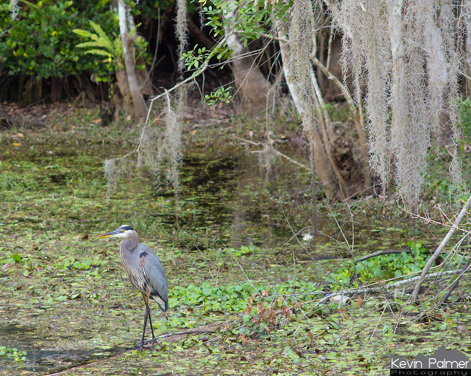 A great blue heron wades in the swamp below hanging spanish moss. This was on the Kirby Storter trail.<br />