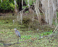 A great blue heron wades in the swamp below hanging spanish moss. This was on the Kirby Storter trail.<br /> <br /> Date Taken: 12/14/2014