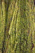 The moss covered trunk of an old growth red cedar.