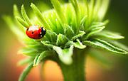 Macro shot of a ladybug wandering around a fresh bloom of Ecinacea in my garden in Sausalito California.