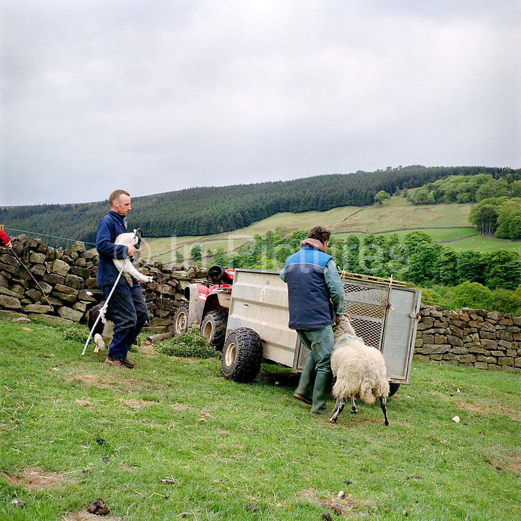 Two hill farmers loading a Swaledale ewe and her lamb into a trailer, Breck House (farm), Bransdale, North York Moors, North Yorkshire, UK