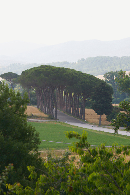 A rural road in Tuscany bordered by rows of Italian Stone Pine trees
