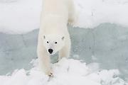 A polar bear adult (Ursus maritimus) walking on the ice, Spitsbergen, Northwest Coast of the Svalbard Archipelago, Norway