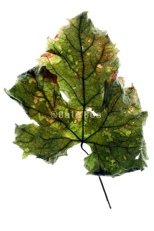 leaf in the process of changing from green to brown