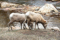 Bighorn Sheep at Fall River