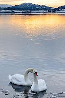 Norway, Stavanger, Hafrsfjord. Mute Swans.