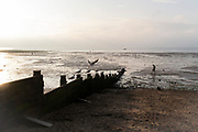 A sea gull takes-off from a sea defence groyne as staycationers walk on low-tide mud flats, on 25th July 2021, in Whitstable, Kent, England.