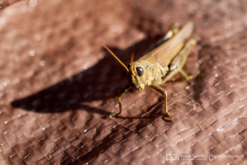 Grasshopper on tarp.