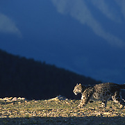 Snow Leopard (Panthera uncia) inhabits the high mountains of central Asia. Captive Animal.