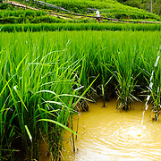 Water pouring at rice field