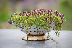 Thyme grown in a recycled sieve