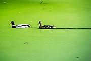 Nederland, Ubbergen, 23-9-2014Een paartje wilde eenden zwemt in een met groen kroos bedekte waterplas.Foto: Flip Franssen/Hollandse Hoogte