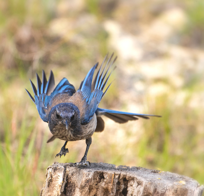 Woodhouse's Scrub-Jay lands on a log