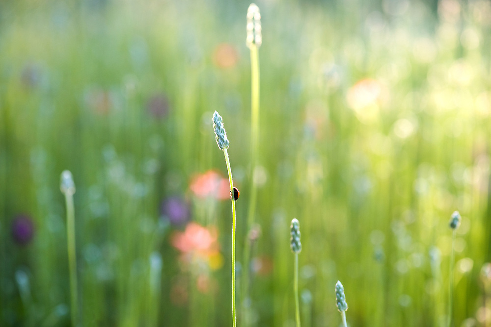 Grasses and lady bug, Valley Spring, Texas. Double spread Texas Highways Magazine spring 2016 issue.