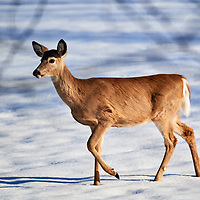 20190305-deer