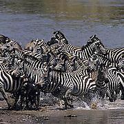 Burchell's Zebra, (Equus burchelli) Spooked herd running from Mara River. Masai Mara Game Reserve. Kenya. Africa.