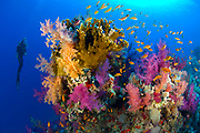Diver and richly colored soft coral seascape at Ras Mohammed (Yolanda Reef), Sinai, Egypt