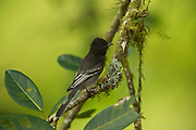 Black Phoebe (Sayornis nigricans)<br /> Mindo<br /> Cloud Forest<br /> West slope of Andes<br /> ECUADOR.  South America<br /> HABITAT & RANGE: Oregon and California south through Central and South America.