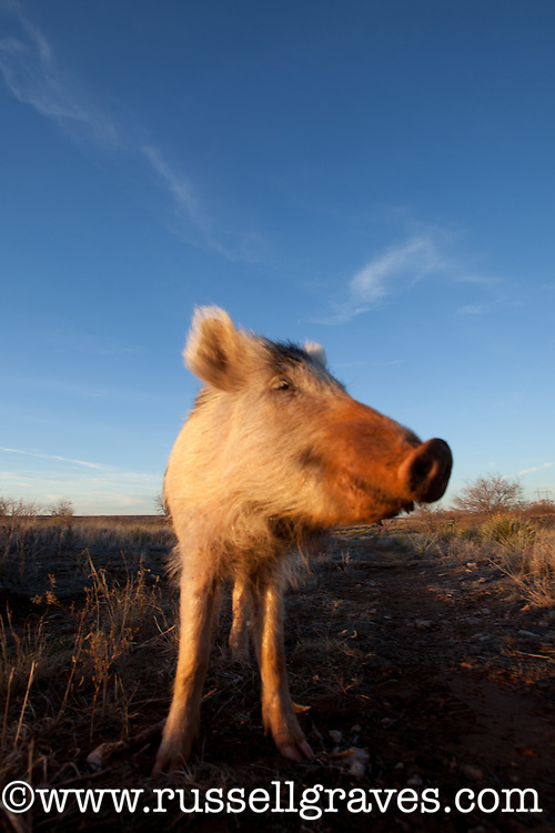 JUVENILE SPOTTED WILD PIG FORAGING FOR FOOD