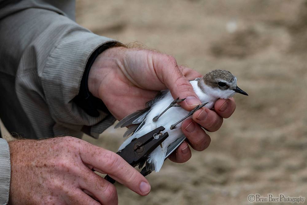 Huntington SB 10-07-2021_0768<br /> A worker adds a band to a Western Snowey Plover that was caught while attempting to catch a oil covered bird.<br /> <br /> Huntington State Beach<br /> © 2021, California State Parks.<br /> Photo by Brian Baer