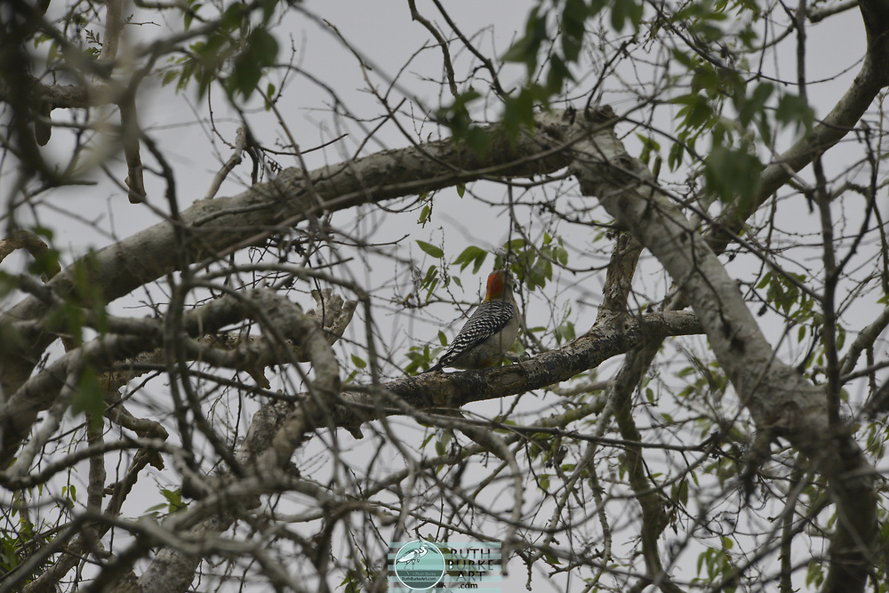 Rare birds of South Texas in Spring Laguna Atascosa National Wildlife Refuge in south Texas with Golden-fronted Woodpecker