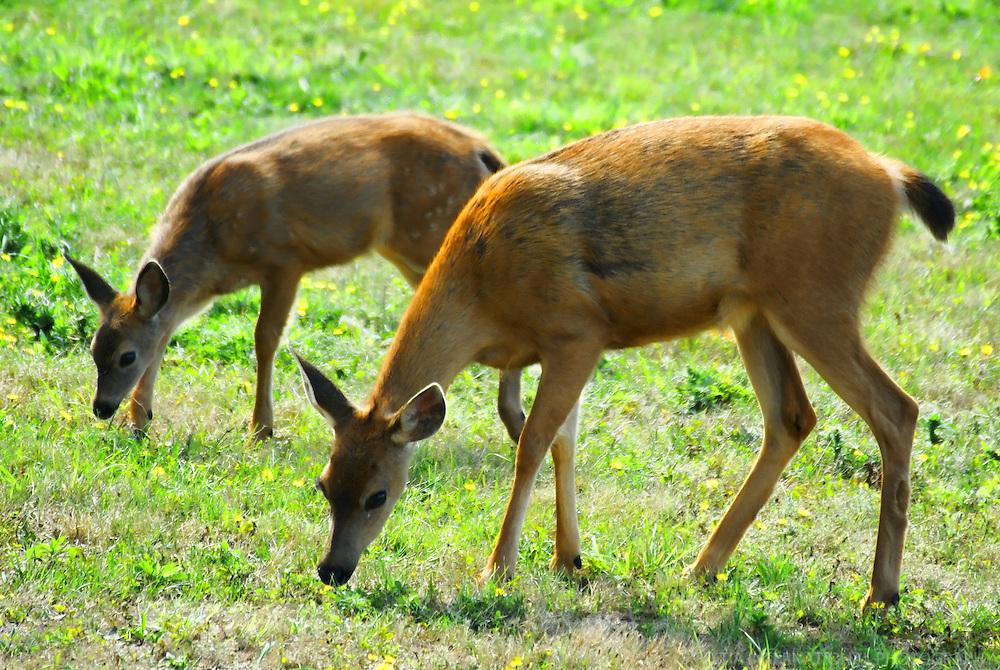 Deer / Whidbey Island, Washington