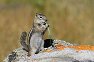Common Ground Squirrel eating vegetation