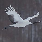 Red-crowned crane in flight. Hokkaido, Japan