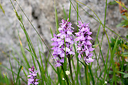 Orchis Mejalis (marsh Orchis) Photographed in the Spanish Pyrenees mountain range