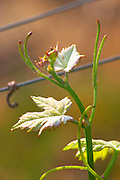 Very young small leaves in spring on the tip of a Merlot vine Chateau Paloumey Haut-Medoc Ludon Medoc Bordeaux Gironde Aquitaine France