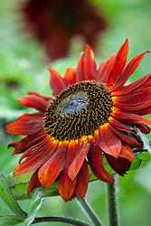 Dark red sunflower. Helianthus annuus