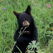 Black Bear, (Ursus americanus) Montana. Cub in Bridger Mountain Range.  Captive Animal.
