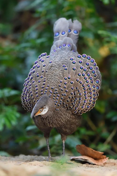 Grey peacock-pheasant, Polyplectron bicalcaratum, Tongbiguan Nature Reserve, Dehong, Yunnan, China