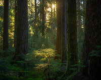 Early morning light streams into old growth Sol Duc rainforest, Olympic National Park, WA, USA