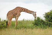 the giraffe's long purple tongue is tough and capable of withstanding the sharp thorns of acacias. They can wrap that tongue around an acacia and pull the leaves out without puncturing thier flesh.
