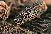 Close up selective focus photo of Morel Mushrooms