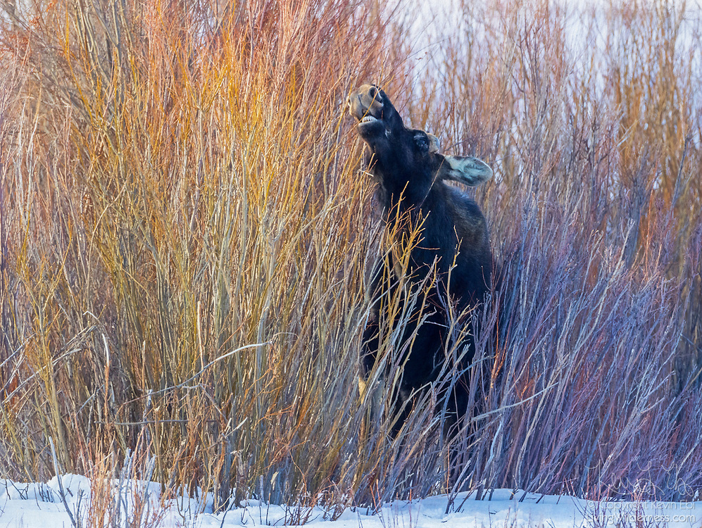 A bull Yellowstone Moose (Alces alces shirasi) feeds on willow shrubs as the winter sun rises in the Lamar Valley of Yellowstone National Park, Wyoming. Bull moose typically have antlers, but they lose them in the winter in order to conserve energy. The Yellowstone moose is the smallest of the four subspecies of moose found in North America, although it is the largest member of the deer family that resides in the park.