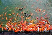 Koi fish in feeding frenzy at edge of pond.