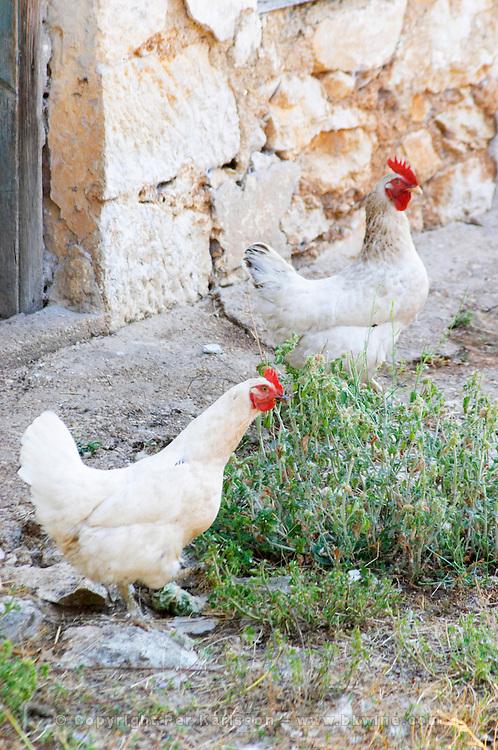 White Hen and rooster in the winery backyard. Vita@I Vitaai Vitai Gangas Winery, Citluk, near Mostar. Federation Bosne i Hercegovine. Bosnia Herzegovina, Europe.