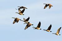 Canada Geese, Branta canadensis