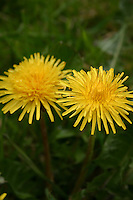 Two yellow dandelion flowers