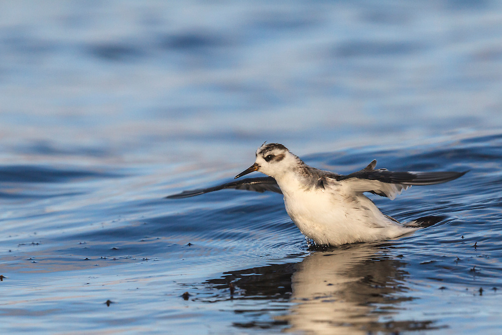 Grey Phalarope - Phalaropus lobatus. L 20-21cm. Confiding wader that habitually swims and spends its non-breeding life at sea. Bill is shorter and stouter than similar Red-necked, and has yellow base. Sexes are dissimilar in breeding plumage (seen here occasionally). Winter adult has grey upperparts, white underparts, dark cap and nape, and black 'panda' mark the eye. Adult female in summer has orange-red neck and underparts, dark crown, white face patch, and buff-fringed dark back feathers. Adult male in summer is similar but duller. Juvenile recalls winter adult but plumage is tinged buff and back feathers are dark with buff fringes. Voice Utters a sharp pit flight call. Status Nests in high Arctic, winters in tropical seas and seen here on migration, mostly in autumn but sometimes spring. Mainly coastal but sometimes on reservoirs.