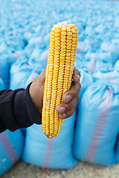 Man holding cob of corn in front of blue sacks of harvested corn, Morocco